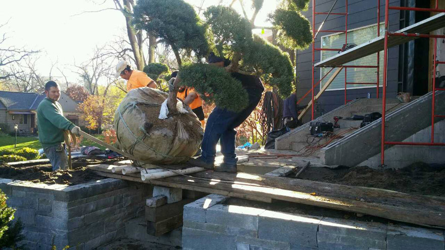 Installing Hindu Pan Pines into Landscaping